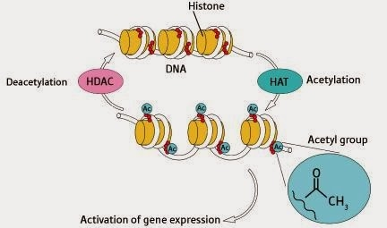 Factors affecting gene expression | The A Level Biologist