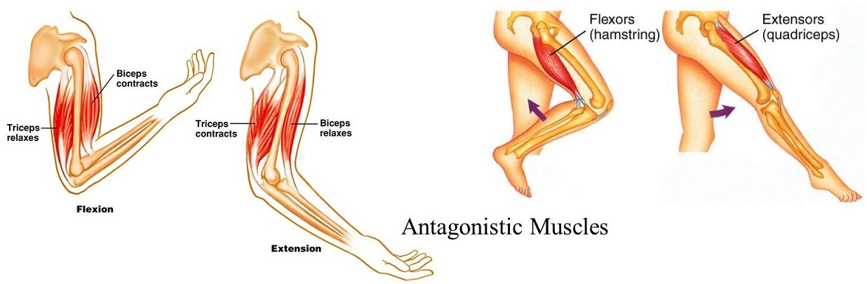 Forelimb Muscle Action And The Role Of Tendons The A Level