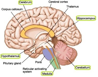 Human brain structure and function the a level biologist your hub the brain has several key parts the medulla oblongata the cerebellum the cerebrum the hypothalamus and the hippocampus ccuart Choice Image