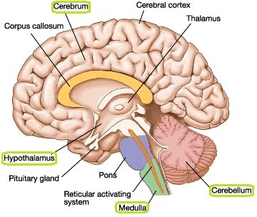 Structure and function of the mammalian nervous system the a level the brain has several key parts the medulla oblongata the cerebellum the cerebrum and the hypothalamus ccuart Gallery