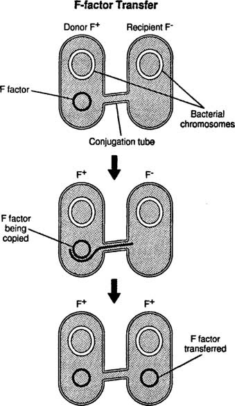 the process of bacterial conjugation in transmitting genetic material To study the process of bacterial conjugation through transfer of genes coding   bacteria possess several methods for gene transfer for transmission of genes  between individual cells  donor cell transfers genetic material to the recipient  cell.