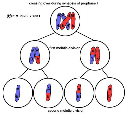 Meiosis the a level biologist your hub did i mention how important it is to use accurate scientific terminology in the exams the process is called synapsis during which mutual exchange of ccuart Images