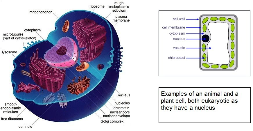 Structure Of Eukaryotic Cells The A Level Biologist Your Hub