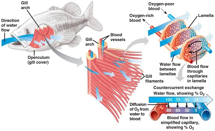Gas exchange the a level biologist your hub the oxygen content of water is much lower compared to air so fish have special adaptations which enable them to make the most of the available oxygen ccuart Images