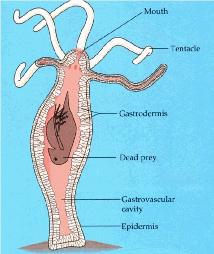 digestion of food in hydra