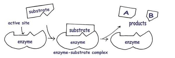 Enzymes the a level biologist your hub the lock and key and induced fit models of enzyme action the lock and key model is based on complementary shapes between the enzyme and substrate ccuart Image collections