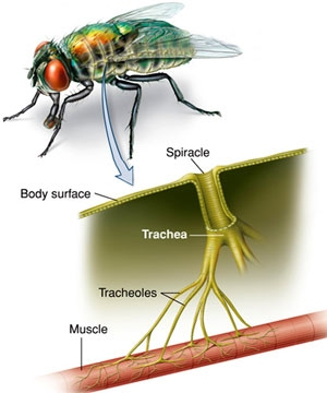 Gas exchange the a level biologist your hub insects have a tracheal system made up of many tracheae which branch into smaller tracheoles all tracheae connect to the exoskeleton of the insect ccuart Images