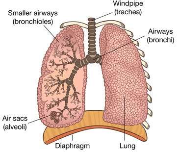 Lung function the a level biologist your hub air enters the lungs via the trachea bronchi and bronchioles into the tiny air sacs the alveoli the epihelium of the alveoli is extremely thin just ccuart Choice Image