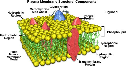 cell transport mechanisms and permeability