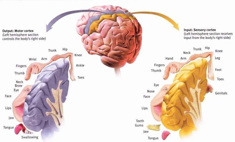 Sensory And Motor Areas In The Cortex The A Level Biologist Your Hub
